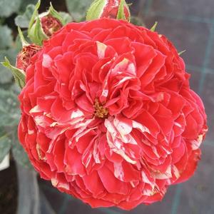 Rosa 'Konstantina™' - sötét rózsaszín, fehér csíkos -