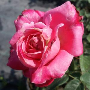 Rosa 'Kós Károly emléke' - - teahibrid rózsa