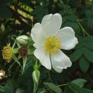 Rosa laxa – Dzsungáriai rózsa