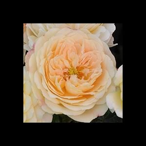 Rosa 'Lemon™' - Világos sárga virágágyi floribunda rózsa