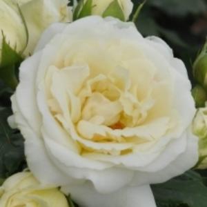 Rosa 'Lenka™' - Krém fehér virágágyi floribunda rózsa