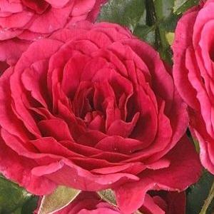 Rosa 'Limesfeuer' – mély rózsaszín talajtakaró rózsa
