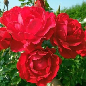 Rosa 'Limesglut' - piros talajtakaró rózsa