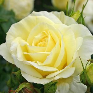 Rosa 'Limona ®' - citromsárga teahibrid rózsa