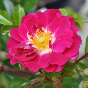 Rosa 'Lipstick®' - lilás - rózsaszín talajtakaró rózsa