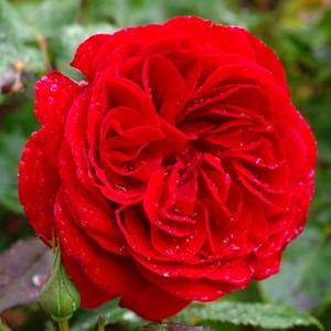 Rosa 'Look Good Feel Better™' - sötétvörös virágágyi floribunda rózsa