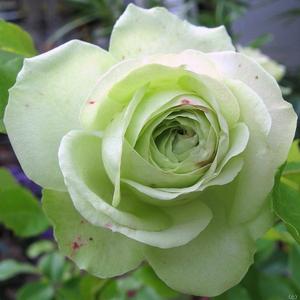 Rosa 'Lovely Green' - zöldes fehér virágágyi floribunda rózsa