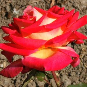 Rosa 'Magyarok Nagyasszonya' - sárga - rózsaszín keveréke teahibrid rózsa