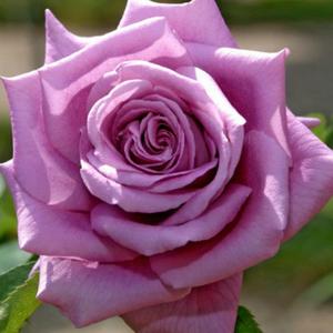Rosa 'Mamy Blue' - lila teahibrid rózsa