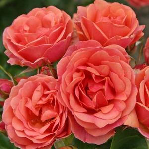 Rosa 'Mandarin ®' - korallpiros törpe - mini rózsa