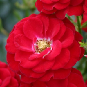 Rosa 'Mandy ®' - vörös törpe - mini rózsa