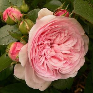 Rosa 'Mariatheresia®' - Világos rózsaszín virágágyi floribunda rózsa