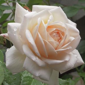 Rosa 'Martine Guillot' - fehér nosztalgia rózsa
