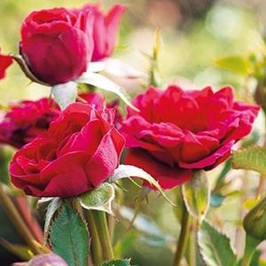 Rosa 'Mauve™' - Élénk vörös talajtakaró rózsa
