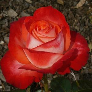 Rosa 'Maxim®' - krémfehér, a sziromszél pirosas rózsaszín teahibrid rózsa