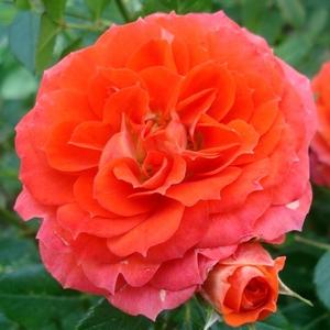 Rosa 'Miami' - narancs törpe - mini rózsa
