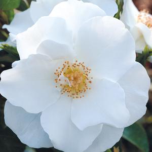 Rosa 'Milly™' - Tiszta fehér virágágyi polianta rózsa