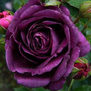 Rosa 'Minerva' - lila virágágyi floribunda rózsa