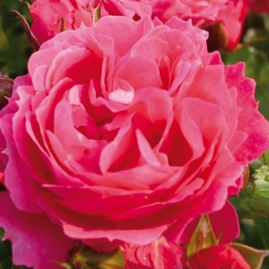 Rosa 'Moin Moin ®' - rózsaszín törpe - mini rózsa