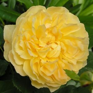 Rosa 'Molineux' - mélysárga angol rózsa