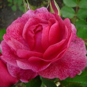 Rosa 'Morden Ruby' - rózsaszín nosztalgia rózsa