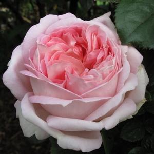 Rosa 'Myriam' – halvány rózsaszín teahibrid rózsa