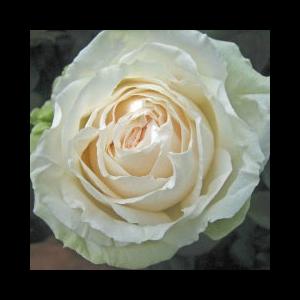 Rosa 'Mythos®' - krémszínű, zöldes árnyalatú teahibrid rózsa