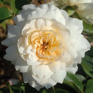 Rosa 'Nadine Xella-Ricci' - krémszínű virágágyi floribunda rózsa