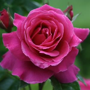 Rosa 'Naomi™' - Sötét rózsaszín nosztalgia rózsa