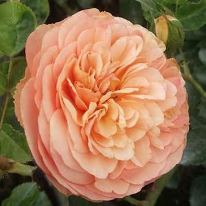 Rosa 'Natalija™' - Barackszín nosztalgia rózsa
