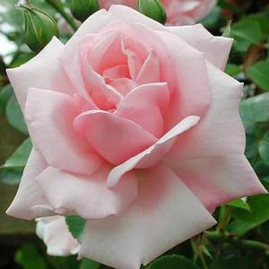 Rosa 'New Dawn' – Halvány rózsaszín climber, futó rózsa
