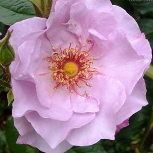 Rosa 'Odyssey' - halvány mályvaszínű virágágyi floribunda rózsa