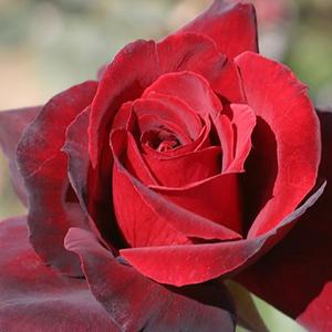 Rosa 'Oklahoma' - sötétvörös teahibrid rózsa