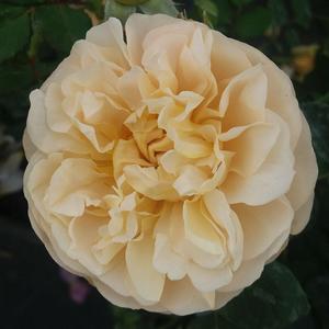Rosa 'Olivera™' - Világos sárga virágágyi floribunda rózsa