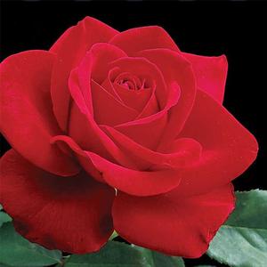 Rosa 'Olympiad' - Vörös teahibrid rózsa