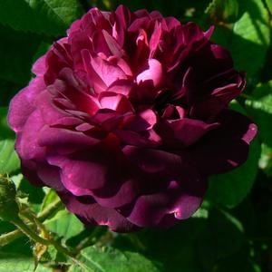 Rosa 'Ombrée Parfaite' - lila történelmi - gallica rózsa