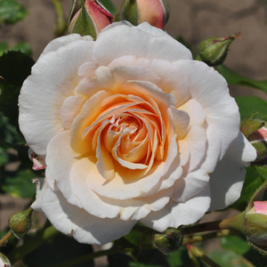 Rosa 'Pacific' - Sárga virágágyi grandiflora - floribunda rózsa