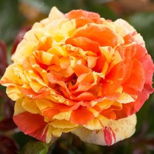 Rosa 'Papagena' - Sárga-narancs csíkos virágágyi floribunda rózsa
