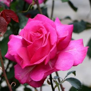 Rosa 'Parole ®' - mély rózsaszín teahibrid rózsa