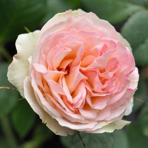 Rosa 'Pastella®' - Krémszínű, rózsaszín szegéllyel virágágyi floribunda rózsa