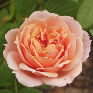 Rosa 'Paul Bocuse' - barackos rózsaszín nosztalgia rózsa