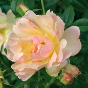 Rosa 'Phyllis Bide' - barackszínű climber, futó rózsa