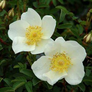 Rosa pimpinellifolia – Jajrózsa