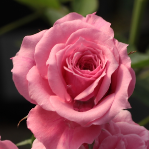 Rosa 'Pink Babyflor®' - sötét rózsaszín törpe - mini rózsa