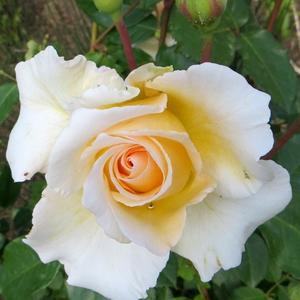 Rosa 'Poustinia' - Fehér, barackos árnyalattal virágágyi floribunda rózsa