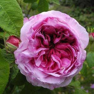 Rosa 'Président de Sèze' - rózsaszín, fehér szegéllyel történelmi - gallica rózsa