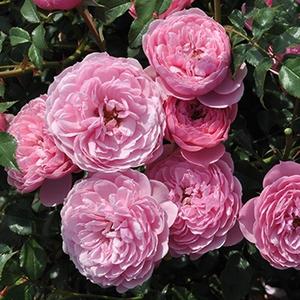 Rosa 'Punch™' - Rózsaszín majd fehér virágzatú törpe - mini rózsa
