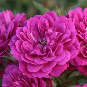 Rosa 'Purple Rain ®' - lila talajtakaró rózsa