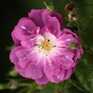 Rosa 'Purple Skyliner' - lila climber, futó rózsa