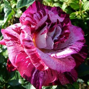 Rosa 'Purple Tiger' - mályva, rózsaszín keveréke virágágyi floribunda rózsa